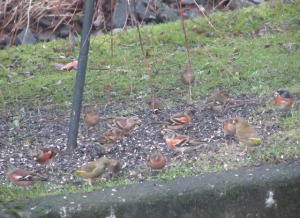Bramblings, chaffinches and greenfinches fill their crops with black sunflower seeds this morning before the snow.