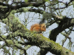 The red squirrel on Brodie's Moor watched me from the top of the tree
