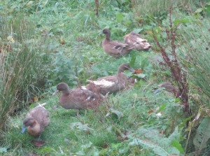 Five of the seven khaki Campbells I 'retired' to Gloagburn Farm Shop pond on 20 October